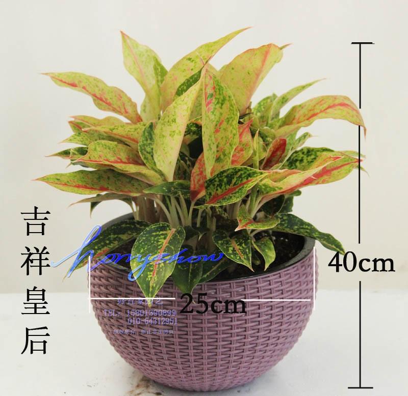 竹芋万年红吉祥皇后粗肋草植物盆栽花卉彩叶盆栽图片